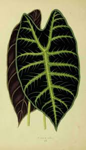 African Mask Plant Light Alocasia Plant Care Growing The African Mask Plant