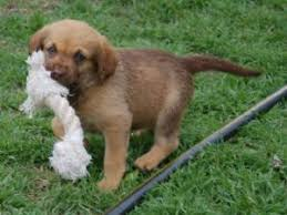 chesapeake bay retrieverfor for puppies for