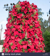 Eine Ansicht Der Weihnachtsstern Pflanzen Sah Aus Wie Ein