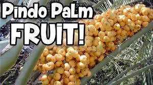 Pindo Palm Tree Fruit  Dates Of The Deep South  Jelly Palm Palm Tree Orange Fruit