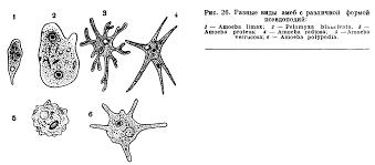 ТИП ПРОСТЕЙШИЕ protozoa это Что такое ТИП ПРОСТЕЙШИЕ  ТИП ПРОСТЕЙШИЕ protozoa