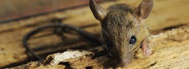 Rodents Lower Classifications Pest Guide About Rodents Rentokil Pest Control