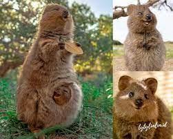 Menggemaskan! Fakta Unik Quokka Binatang Paling Bahagia di Dunia