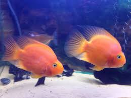 Image result for blood parrot cichlid