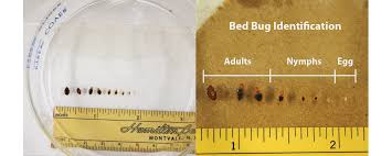 Bed bug sizes Bug Bites Pictures Of Size Of Bed Bug Egg Bed Bug Bed Bug Size Of Bed Bug Egg