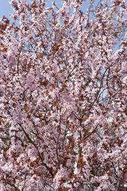 Good Pollinators For Bing Cherry Trees Home Guides Sf Gate