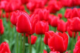 Risultati immagini per tulipano rosso