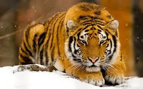 siberian tiger wallpaper desktop.  Desktop Wide  In Siberian Tiger Wallpaper Desktop B
