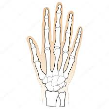 Bones Of The Human Hand Stock Vector Gleighly 8372925