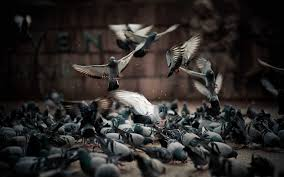 Cool Screensavers Animal Pigeons Birds Cool Screensavers Wallpaper 1920x1200 Trip