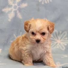 winkie morkie poo puppy