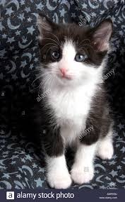 black and white kitten with blue eyes. Simple With A Black And White 6 Week Old Kitten With Blue Eyes  Stock Image With Black And White Kitten Blue Eyes L
