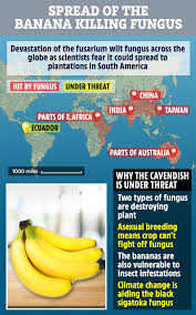 nicolas roux a scientist at bioversity international in france and leader of the organisation s banana genetics resources told live science for western