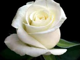 white rose hd pictures