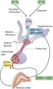 Hpa Axis Fig 1 The Hypothalamic Pituitary Adrenal Hpa Axis The A