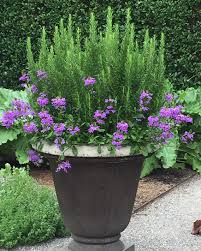 Kitchen Garden In Pots Rosemary And Verbena Happy Together At The Kitchen Garden At The
