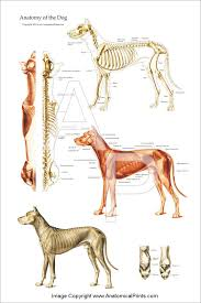 Canine Muscle Chart Dog Muscular And Skeletal Chart