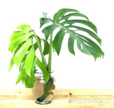 house plants names and pictures house plants names house plants pictures and names common indoor plants house plants names