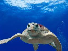 Meeresschildkröte Caretta Caretta - Zakynthos die Urlaubsinsel