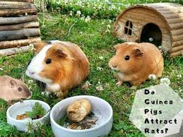 do guinea pigs attract rats why how