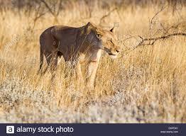 lioness stalking in grass. Exellent Lioness Lioness Panthera Leo Stalking Through The Tall Grass Etosha National  Park Okaukuejo Kunene Region Namibia In Stalking Grass