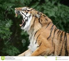 tiger roar side view.  Roar Tiger Roaring In Roar Side View E