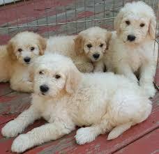 Goldendoodle Designer Dog Breed F1 F1b Goldendoodles
