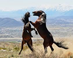 wild horses mustang fighting. Modren Fighting Wild Horses Fighting Mustangs Stallions In Desert Horse  Photograph Intended Mustang Fighting D
