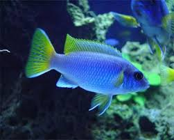 Small Picture 125 best Cichlids and Fish images on Pinterest African cichlids