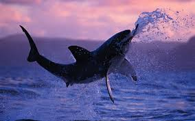 shark wallpaper hd. Exellent Shark Shark Wallpapers HD Pictures U2013 One Wallpaper Backgrounds FREE  Download On Hd S