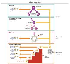 Glycolysis Boundless Biology
