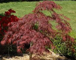 Japanese Maple Growth Chart Crimson Queen Japanese Maple Care And Growing Guide