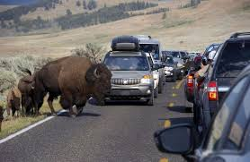 3 2016 file photo a bison blocks