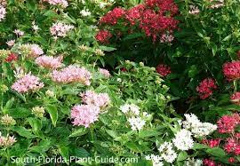 south florida perennials