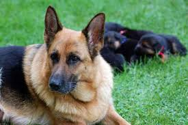 German Shepherd Weight Chart German Shepherd Growth Chart Puppy Growth Rate And Weight
