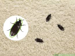 Black Beetle Identification Chart 3 Ways To Identify Beetles Wikihow