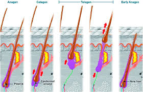normal hair physiology hair cycles