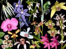 Identifying Australian Orchid Genera
