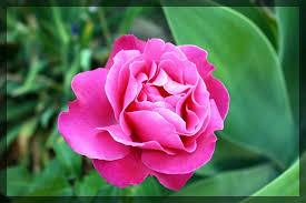 this rose flower