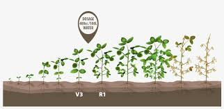 Image Soybean Crop Growth Stages Free Transparent Png