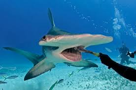 hammerhead shark eats out of diver s hand adventure sports network