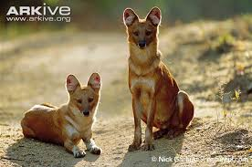 Small Picture Dhole videos photos and facts Cuon alpinus Arkive