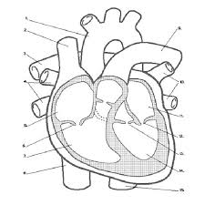 Small Picture anatomy coloring pages the heart Gianfredanet