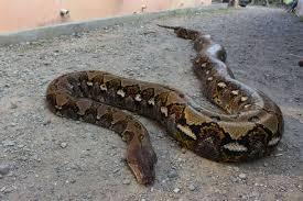 Memang ada beberapa cara mencegah ular kobra masuk ke rumah yang bisa dilakukan. Berita Harian Cara Mencegah Ular Masuk Rumah Terbaru Hari Ini Kompas Com