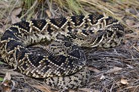 Snake With Diamond Pattern Enchanting Eastern Diamondback Rattlesnake Crotalus Adamanteous About Animals