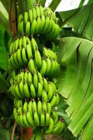 Kuvahaun tulos haulle banaani