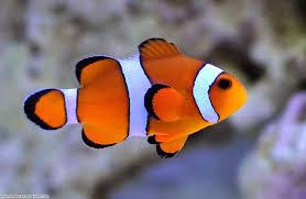 Common Clown Fish Seahorse Aquariums Ltd