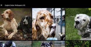 English Setter Wallpapers HD for ...