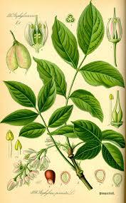 Gemeine Pimpernuss – Wikipedia