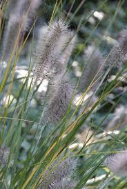 Pennisetum Alopecuroides Herbstzauber Lampenpoetsergras